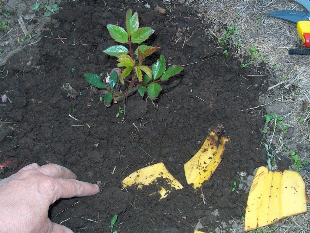 Банановая кожура на огороде