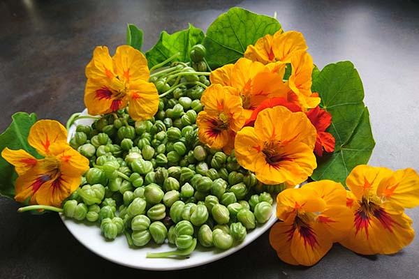 настурция выращивание из семян в горшках
