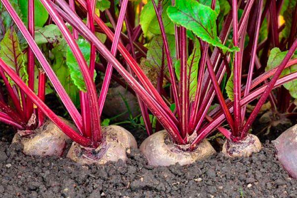 как садить свеклу семенами в открытый грунт
