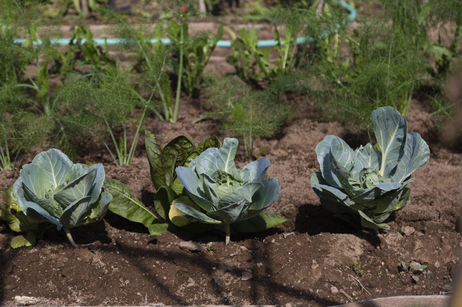 посадка цветной капусты в открытый грунт семенами