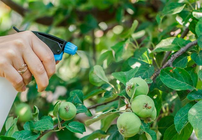 Опрыскивание яблок с пульверизатора