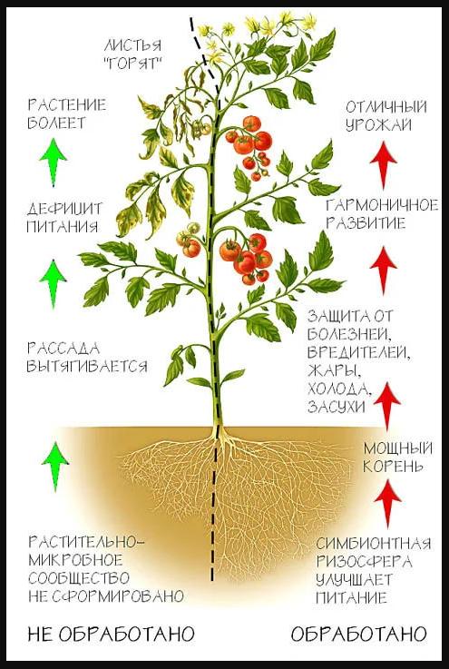 Схематическое сравнение обработанного и необработанного растения